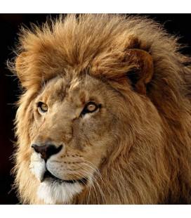 Glasschilderij 50x50cm Lion